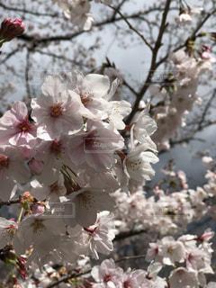 桜の写真・画像素材[1980311]