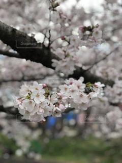 愛知県五条川の桜の写真・画像素材[1980312]