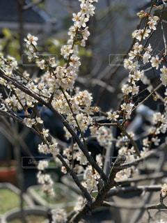梅の写真・画像素材[1980986]