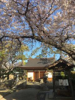 神社の桜にお参りの写真・画像素材[1995518]