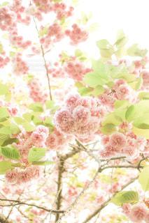 八重桜の写真・画像素材[2065286]