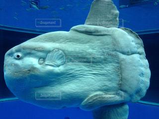 マンボウ 水族館の写真・画像素材[1992702]