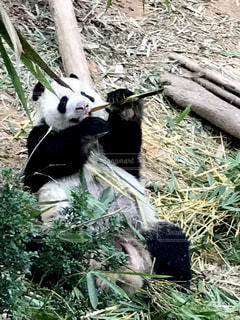 お食事中のパンダの写真・画像素材[2317412]