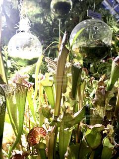 食虫植物の展示の写真・画像素材[2317956]