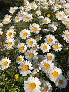白の花のクローズアップの写真・画像素材[4381171]