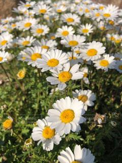 白の花のクローズアップの写真・画像素材[4381246]