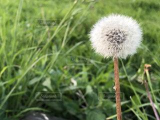 綿毛の写真・画像素材[4592847]