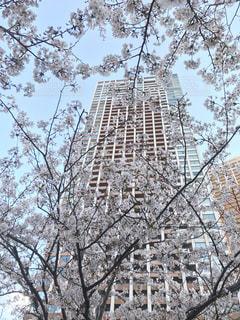 桜の写真・画像素材[1995030]