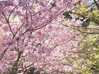 河津桜の写真・画像素材[1996989]
