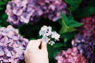 紫陽花の写真・画像素材[2095735]