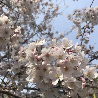 桜🌸の写真・画像素材[1994178]