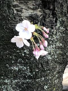 可愛いらしい桜🌸の写真・画像素材[1995622]
