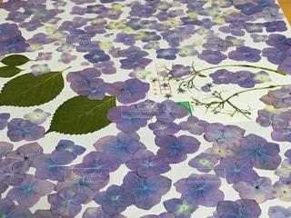紫陽花の押し花いっぱいの写真・画像素材[2053137]