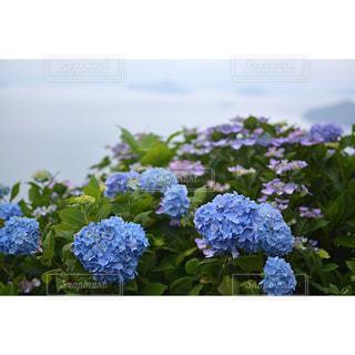 紫陽花と瀬戸内海の写真・画像素材[2000604]