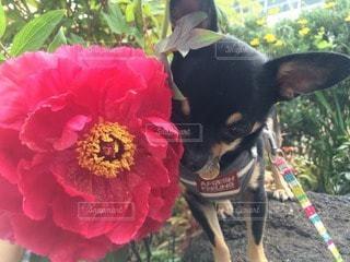 犬の写真・画像素材[83502]