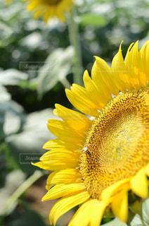 ヒマワリと蜂の写真・画像素材[2046348]