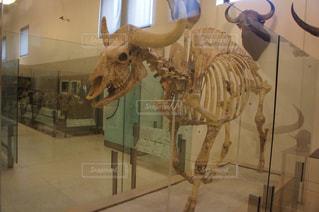 牛の骨格の写真・画像素材[2056138]