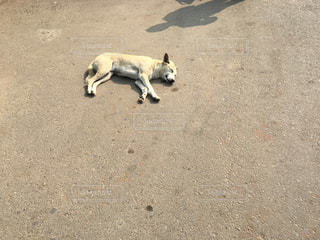 インドの野良犬の写真・画像素材[2064937]