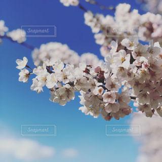桜の花の写真・画像素材[2060810]