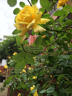 Yellow Roseの写真・画像素材[2076125]