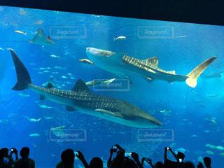 ジンベイザメの写真・画像素材[2023225]