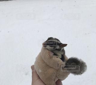 雪とモモンガの写真・画像素材[2005312]