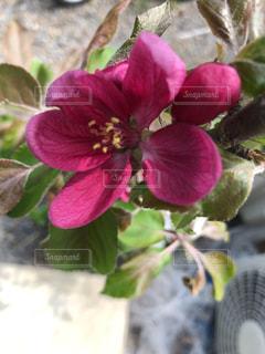 姫リンゴの花の写真・画像素材[2045688]