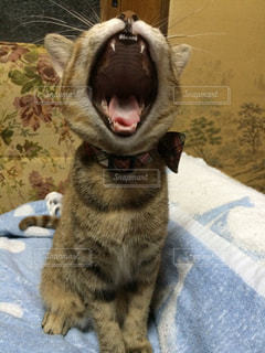 大あくび猫の写真・画像素材[2006490]