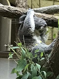 コアラの写真・画像素材[2008734]