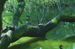 甲羅干しする亀の写真・画像素材[2026388]