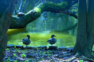シンメトリーに並んだ水鳥の写真・画像素材[2026405]