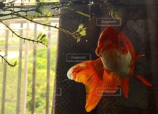 泳ぐ金魚の写真・画像素材[2177145]
