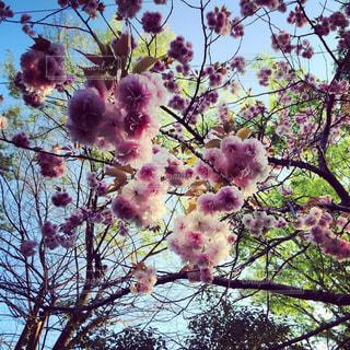 八重桜の美しさの写真・画像素材[2182404]