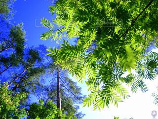 光に透ける葉と木の写真・画像素材[2182409]