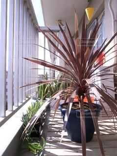 コルジリネ・レッドスター 〜観葉植物の写真・画像素材[2270471]