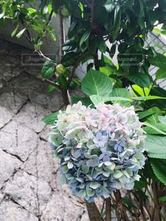 グラデーション紫陽花の写真・画像素材[2273026]