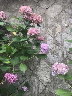 石の壁沿いの紫陽花の写真・画像素材[2273052]