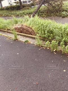 台風で根こそぎ倒れた木の写真・画像素材[2570671]