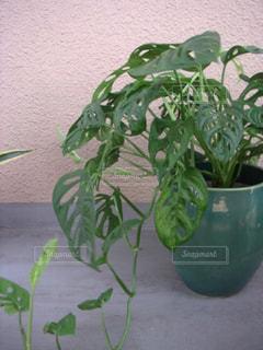 マドカズラの鉢植えの写真・画像素材[2829307]