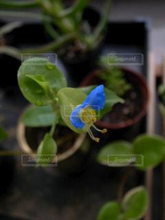 青い花の植物の写真・画像素材[2829373]