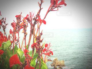 海辺、浜辺の赤い花・植物の写真・画像素材[2847637]