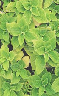 きみどりの葉の写真・画像素材[2847669]
