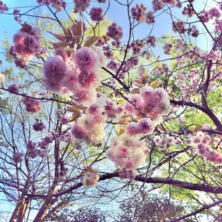 八重桜の開花の写真・画像素材[2860759]