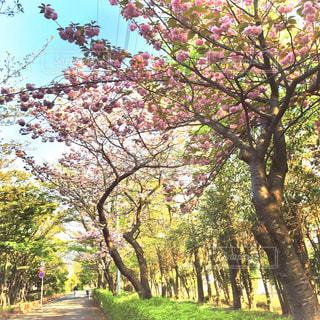 八重桜の並木道の写真・画像素材[2860760]