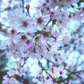 桜の開花の写真・画像素材[2877278]
