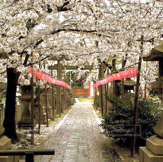 桜・満開・境内の風景の写真・画像素材[2925841]