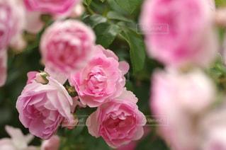 ピンクの花のクローズアップの写真・画像素材[3064619]