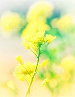 菜の花のクローズアップの写真・画像素材[3565682]