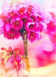 ピンクの花のクローズアップの写真・画像素材[3566017]