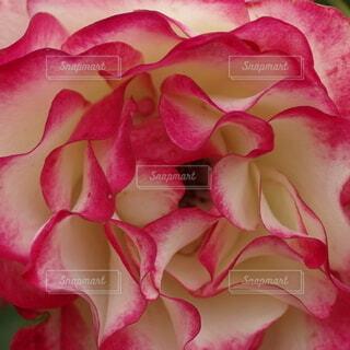 ツートンカラーのバラの花びらの写真・画像素材[4415781]
